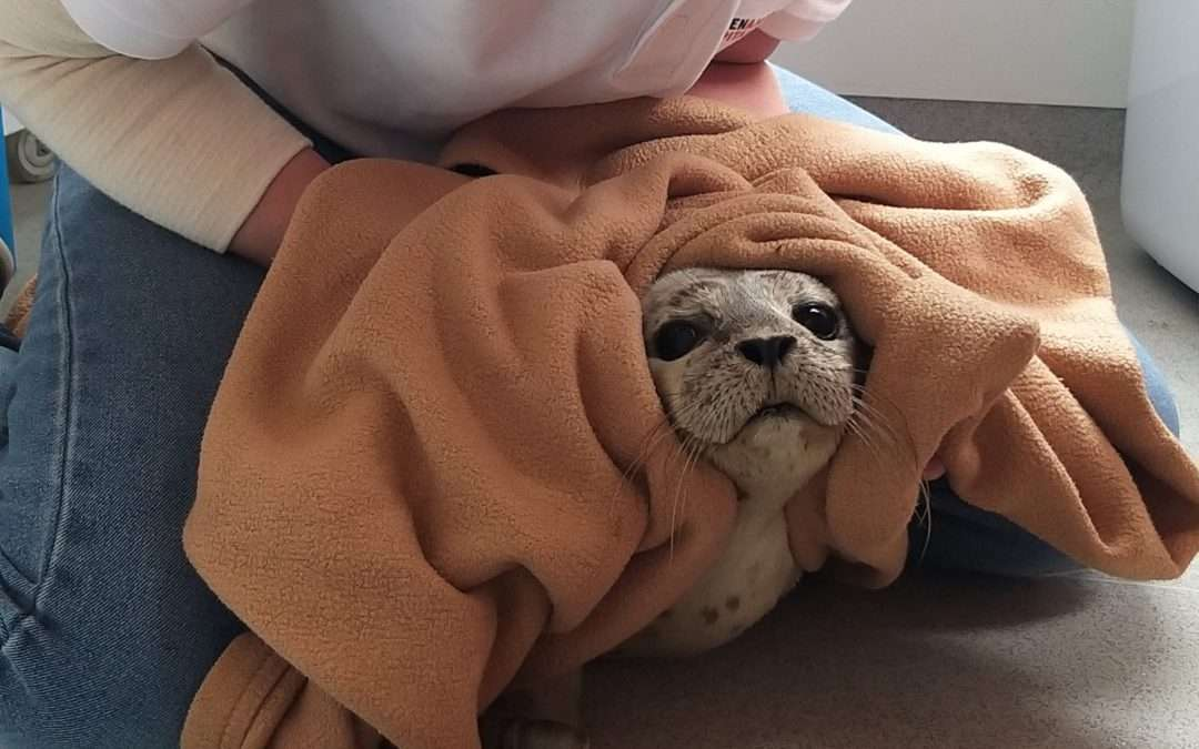 In actie voor gestreste zeehond