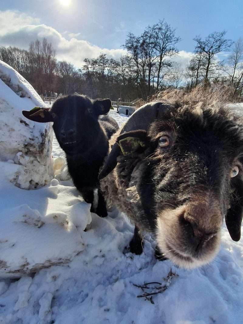 Paarden, schapen en geiten in de sneeuw