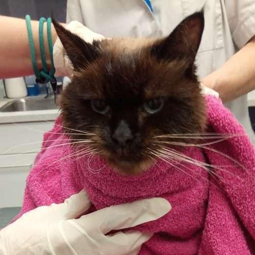 Vermiste Leidse kat Igor terug gevonden in Haags riool