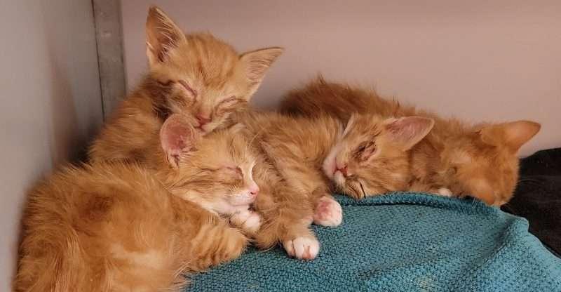 Snotverkouden kittens – week 2