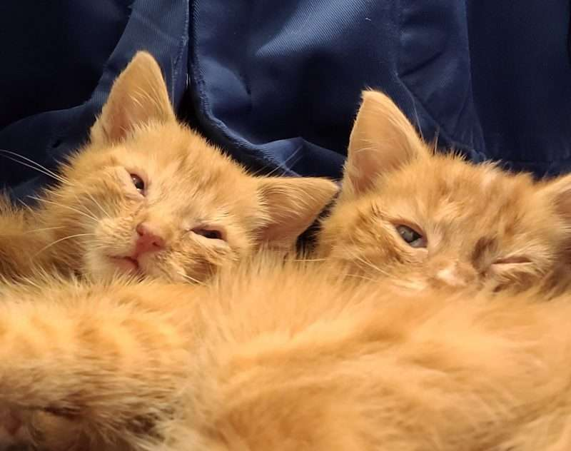 Snotverkouden kittens – week 3