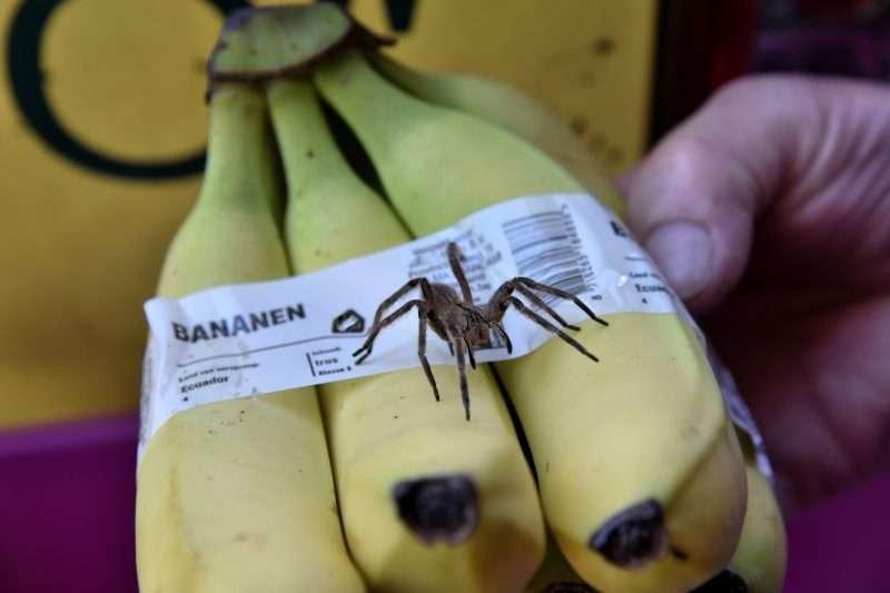 Wolfspin tussen de bananen